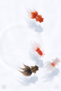 和 金魚 白背景・通常