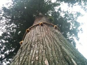 樹齢800年といわれるご神木